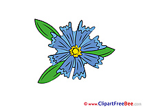 Cornflower Flowers free Images download