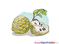 Cherimoya Pics download Illustration